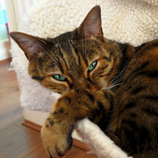 Бенгальский котенок цена, где купить в Беларуси | 646x646