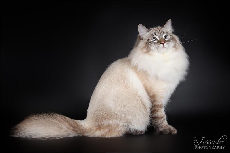 кот для знакомства порода невская маскарадная